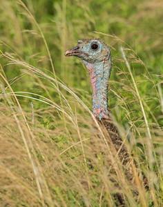 Turkey, Wichita Mountains Wildlife