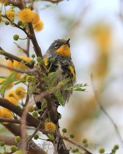 Audubon's Yellow-Rumped Warbler