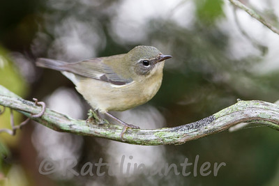 Black-Throated Blue Warbler ♀