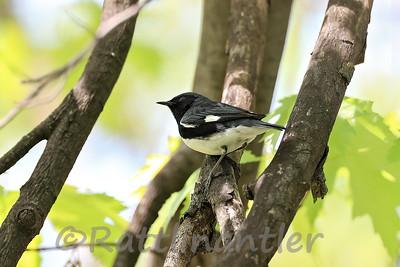 Black-Throated Blue Warbler ♂