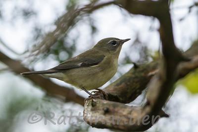 Black-Throated Blue Warbler ♀