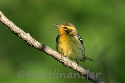 Blackburnian Warbler