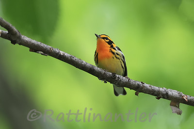 Blackburnian Warbler ♂