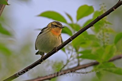 Blackburnian Warbler ♀