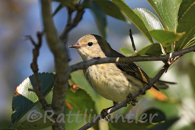 Cape May Warbler - First Fall Female