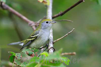 Chestnut-Sided Warbler - fall plumage