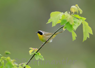 Yellowthroat_050217_005