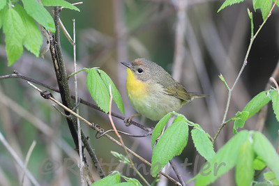 Common Yellowthroat ♀