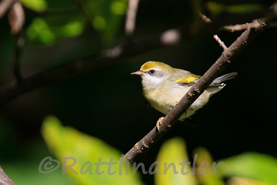 Golden-Winged Warbler ♀