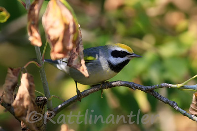 Golden-Winged Warbler ♂