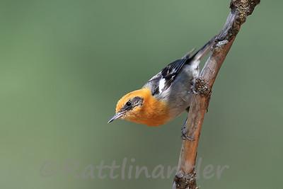 Olive Warbler