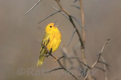 Yellow Warbler