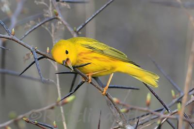 Yellow Warb ler