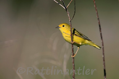Yellow Warbler ♀
