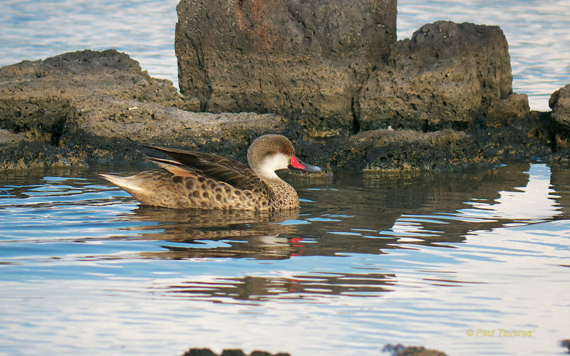 White-cheeked Pintail, Anas bahamensis