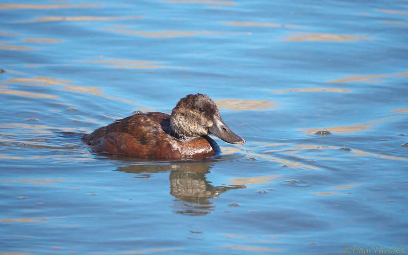 Lake Duck, Oxyura vittata