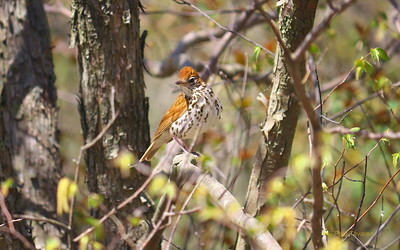 Thrushes to Finches