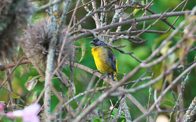 Blue-and-yellow Tanager, Pipraeidea bonariensis