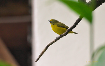 Thick-billed Euphonia, Euphonia laniirostris