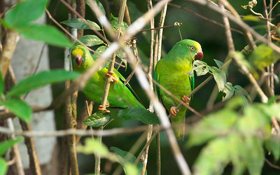 Tui Parakeet, Brotogeris sanctithomae