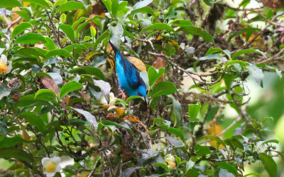 Blue Dacnis, Dacnis cayana