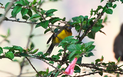 Black-backed Grosbeak, Pheucticus aureoventris