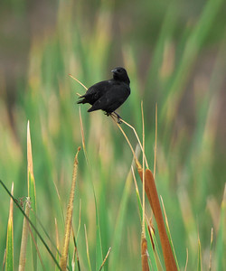 Yellow-winged Blackbird, Agelasticus thilius