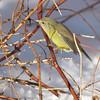 Orange-crowned Warbler, Oreothlypis celata