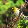 Townsend's Warbler, Setophaga townsendi