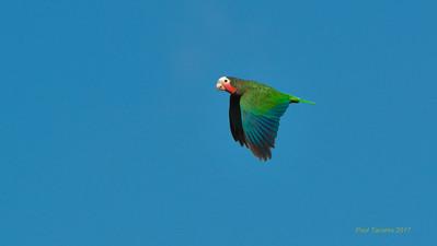 Cuban Parrot, Amazona leucocephala