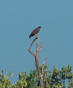 Cuban Black Hawk, Buteogallus gundlachii