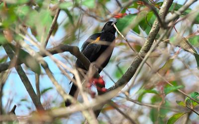 Tawny-shouldered Blackbird, Agelaius humeralis