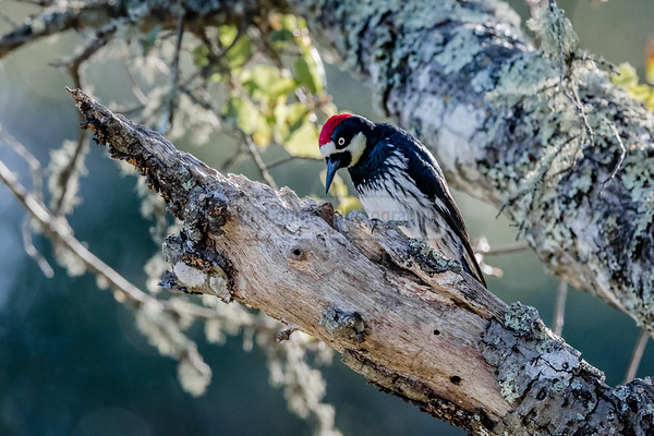 Acorn Woodpecker on Tree