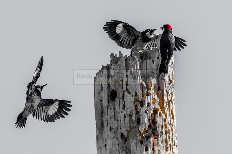 Acorn Woodpeckers Landing on a Tree
