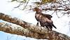 A Tawny Eagle perches in the branches of an Acacia tree. Serengeti National Park, Tanzania