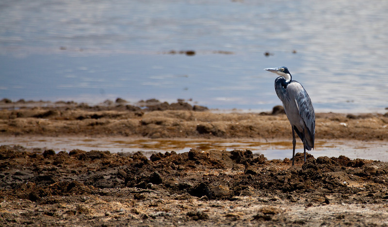 A Black-Headed Heron near the water. Serengeti National Park, Tanzania