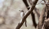An African Grey Flycatcher in a tree. Serengeti National Park, Tanzania