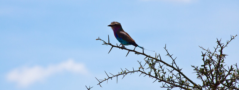 A Lilac-breasted Roller in a tree. Serengeti National Park, Tanzania
