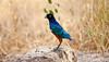 A Superb Starling hangs around the safari camp. Manyara Ranch Conservancy, Tanzania
