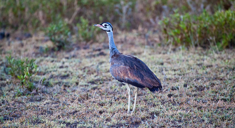 A White Bellied Bustard in the early morning light. Serengeti National Park, Tanzania