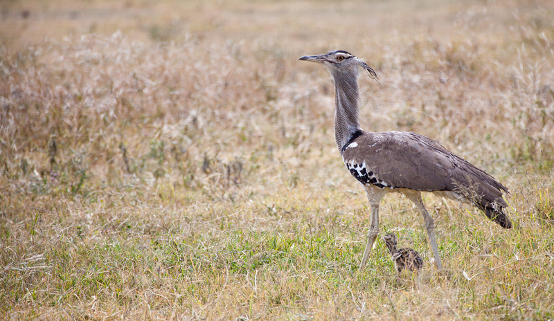 A female Kori Bustard and her young chick. Serengeti National Park, Tanzania