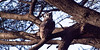 A Verreaux's Eagle Owl in the branches of an Acacia tree. Serengeti National Park, Tanzania