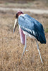 A Marabou Stork on the African Savannah. Serengeti National Park, Tanzania