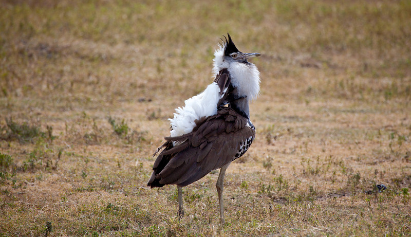 A male Kori Bustard puffs up his plumage in an attempt to attract females. Serengeti National Park, Tanzania