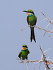 Swallowed Tail Bee Eater