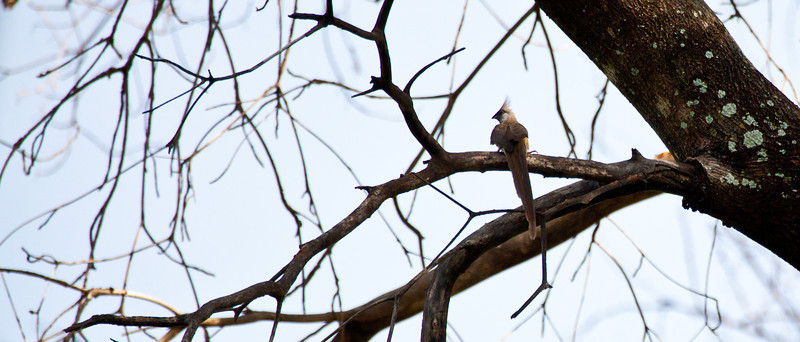 Blue-naped Mousebird in an Acacia Tree. Serengeti National Park, Tanzania