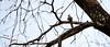 Blue-naped Mousebird in an Acacia Tree. Serengeti National Park, Tanzania