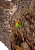 A Fischer's Lovebird sitting in a tree. Serengeti National Park, Tanzania