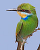 swallowed Tail bee-eater photographed in Etosha Park Namibia