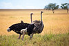 A pair of Ostrich in Serengeti National Park, Tanzania